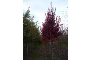 ACER RUBRUM FARVIEW FLAME