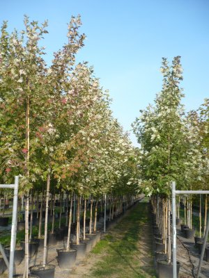 acer freemanii autumn blaze - ct